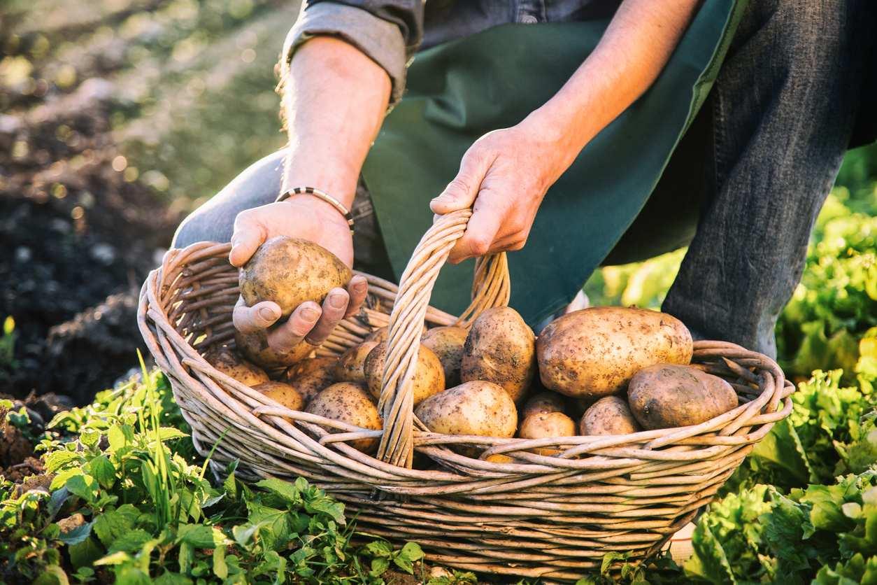 Quelles pommes de terre planter en février ? - Bricofamily