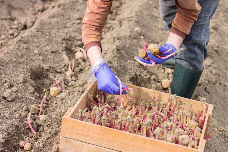 Que Faire Dans Le Potager En Fevrier notre conseil potager du mois de février : faire germer ses