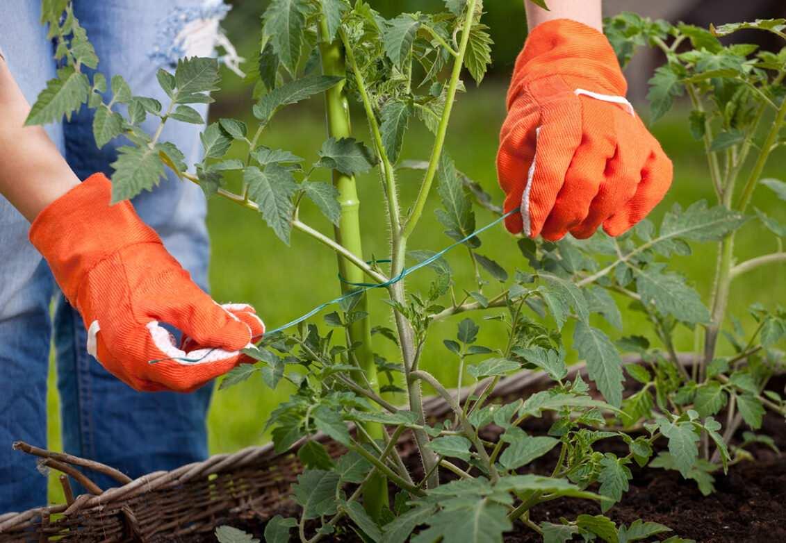 Un jardinier accroche une plante à un tuteur dans son potager