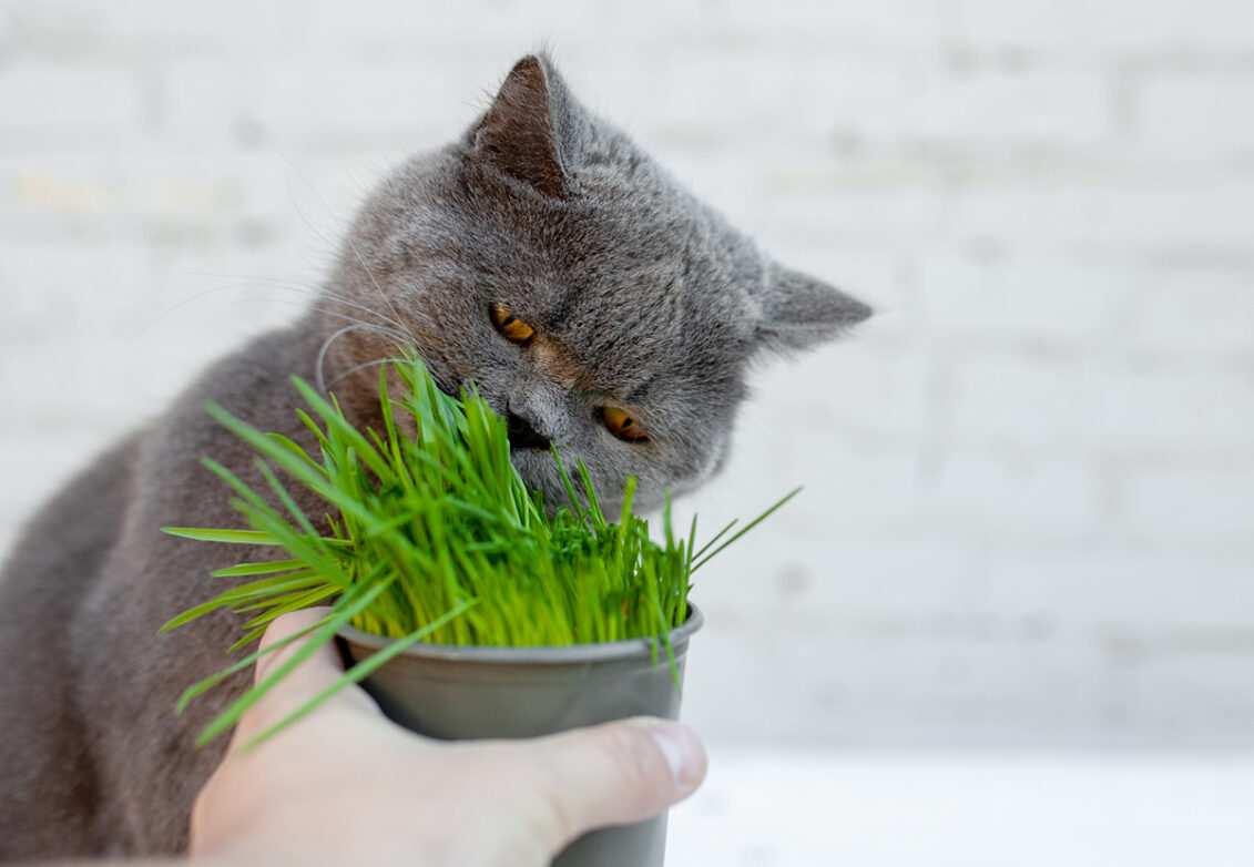 Un chat gris mange de l'herbe à chat
