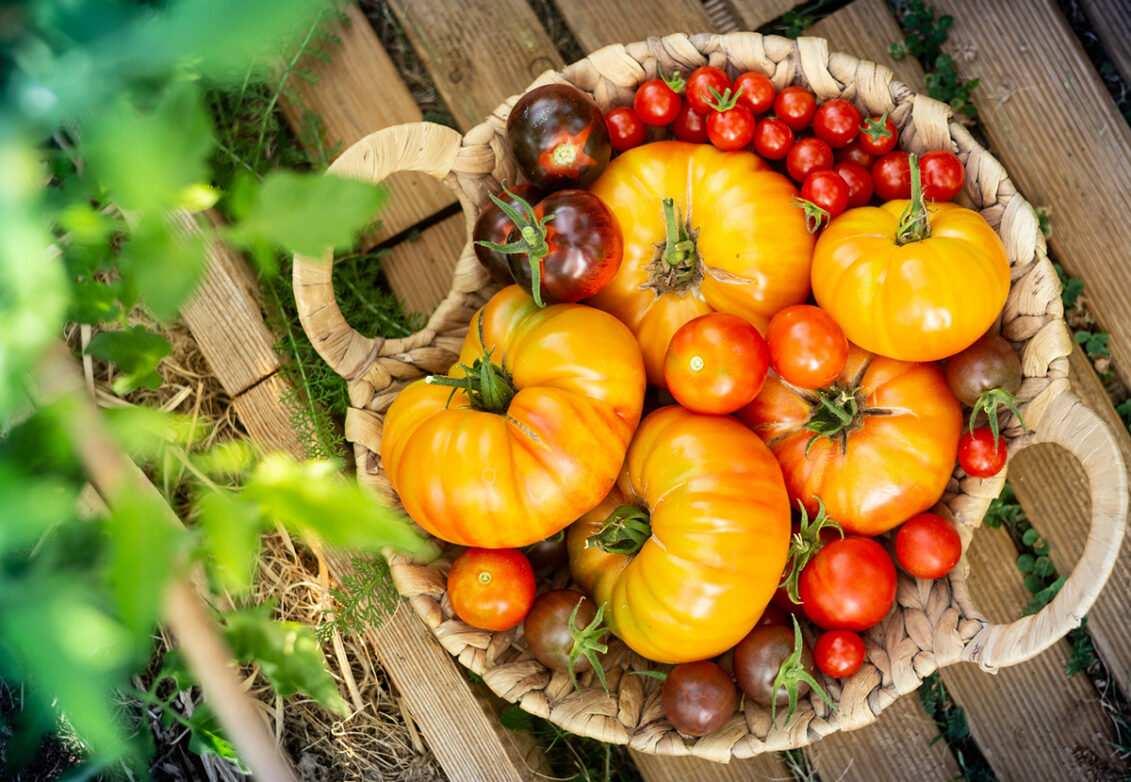 Un panier de différentes variétés de tomates