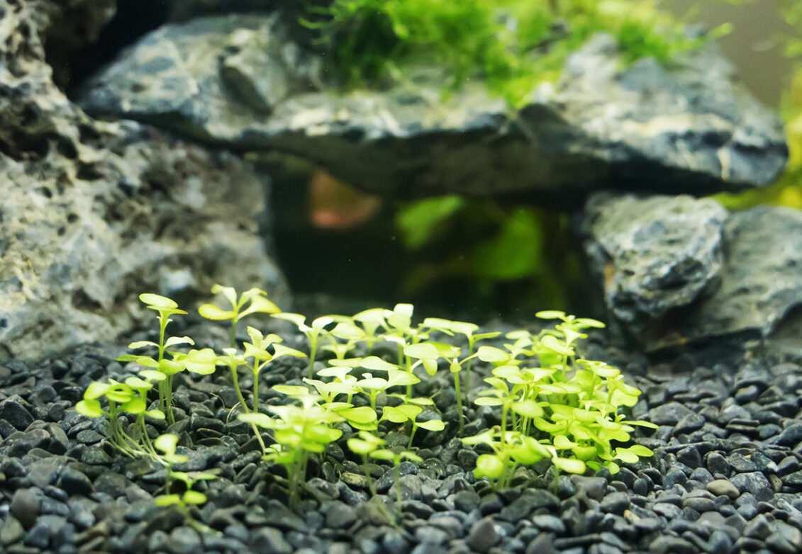 Des plantes aquatiques dans un aquarium