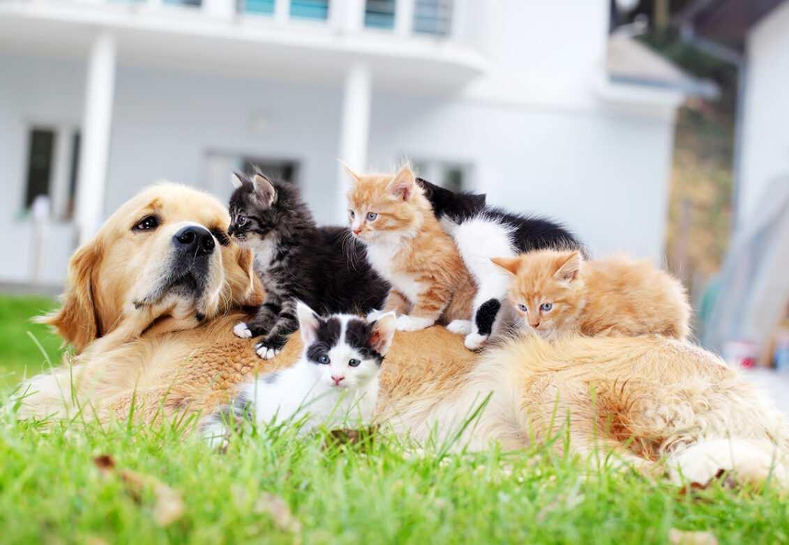 Des chatons sur le ventre d'un chien (golden retriever)