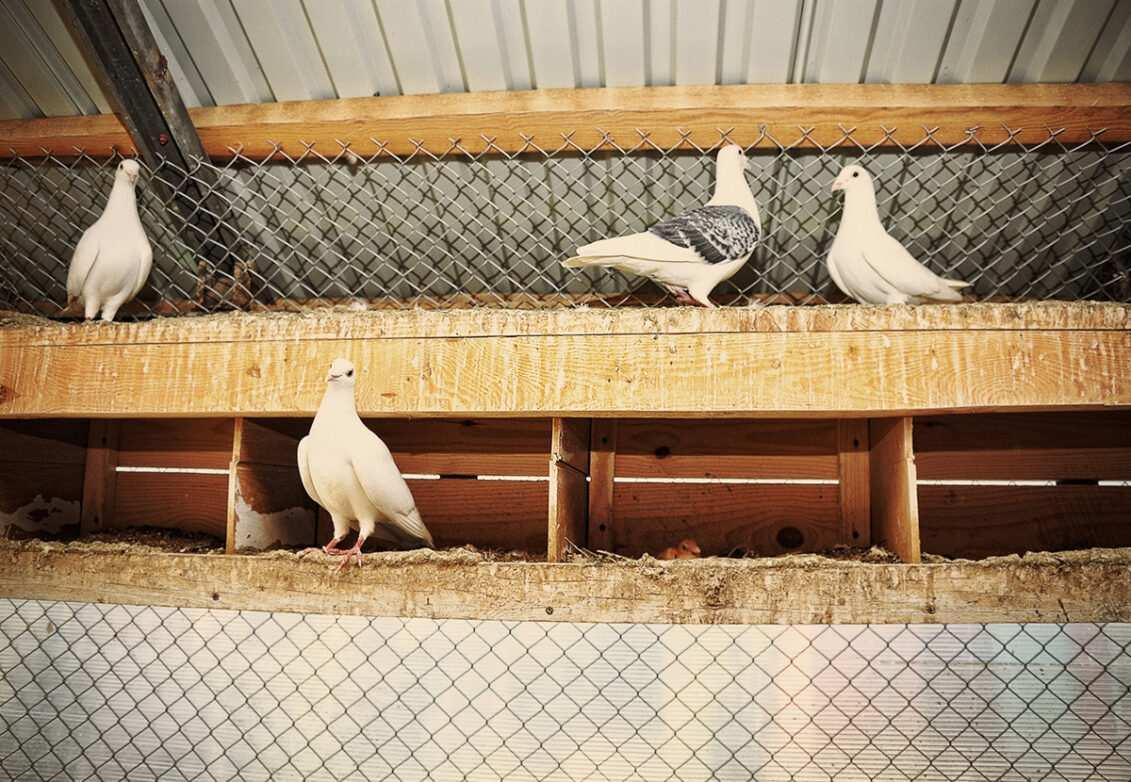 Des pigeons dans une volière