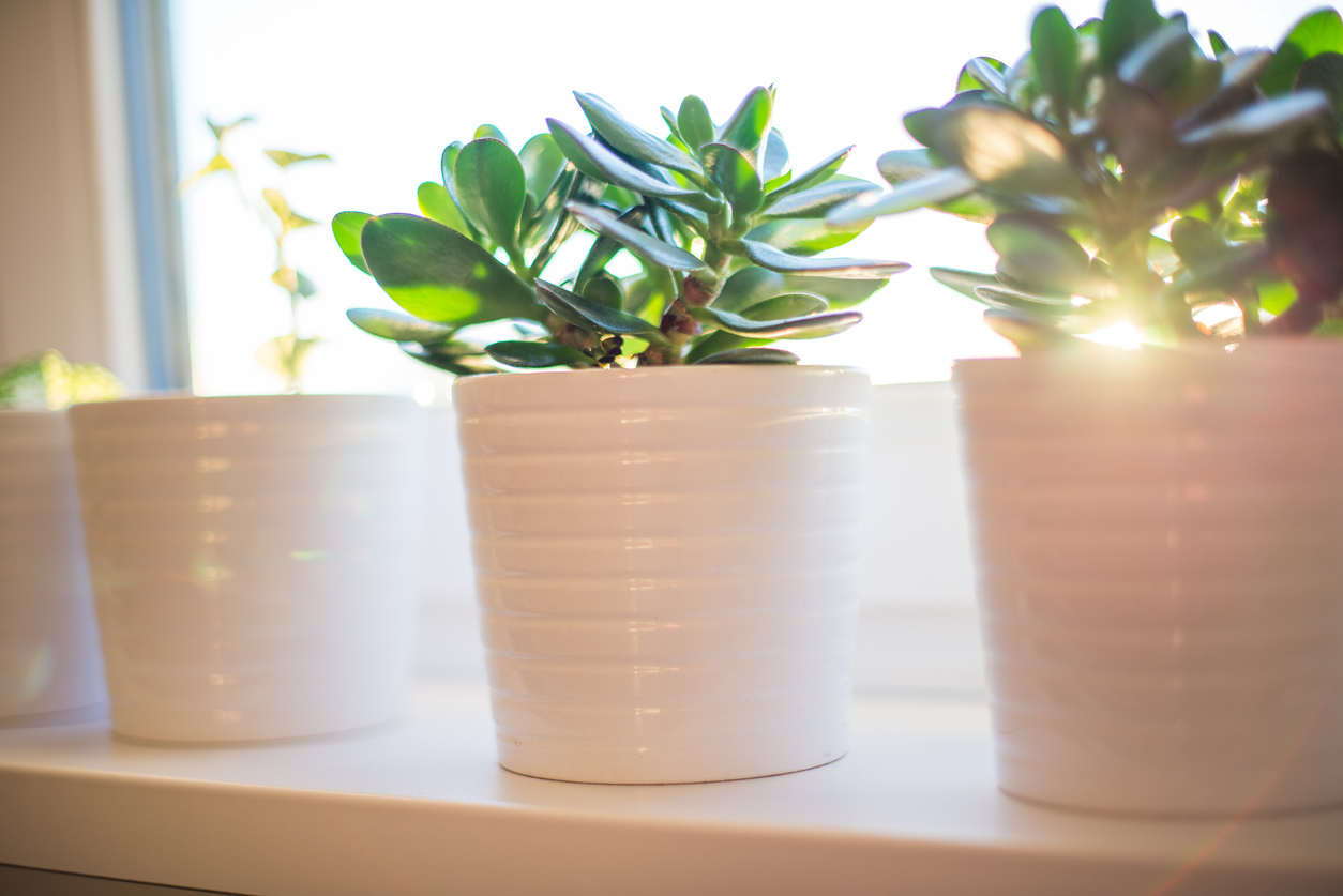 Plantes pour décoration de salon feng shui