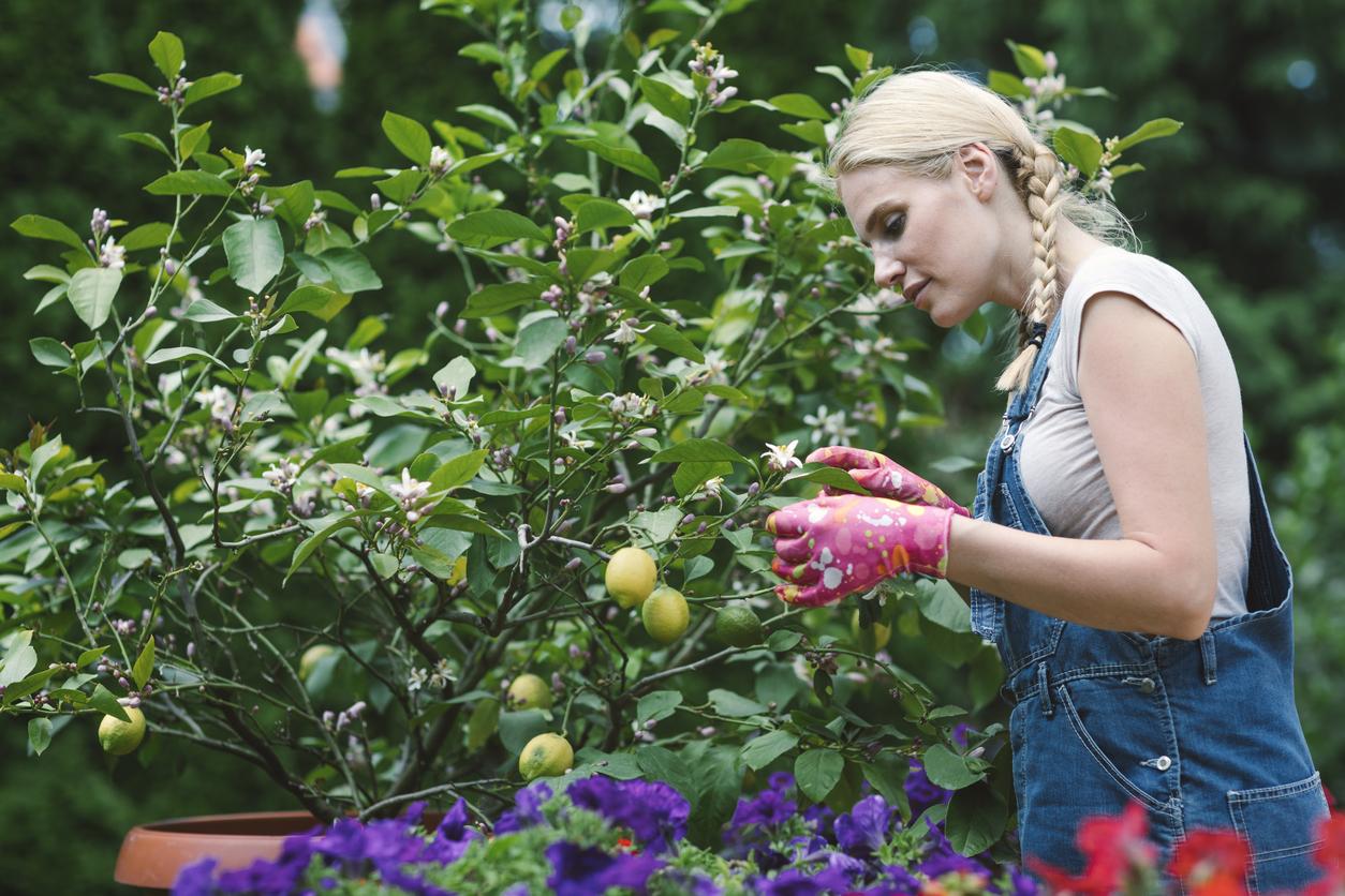 Comment Cultiver Un Citronnier En Pot entretenir son citronnier en pot au printemps - bricofamily