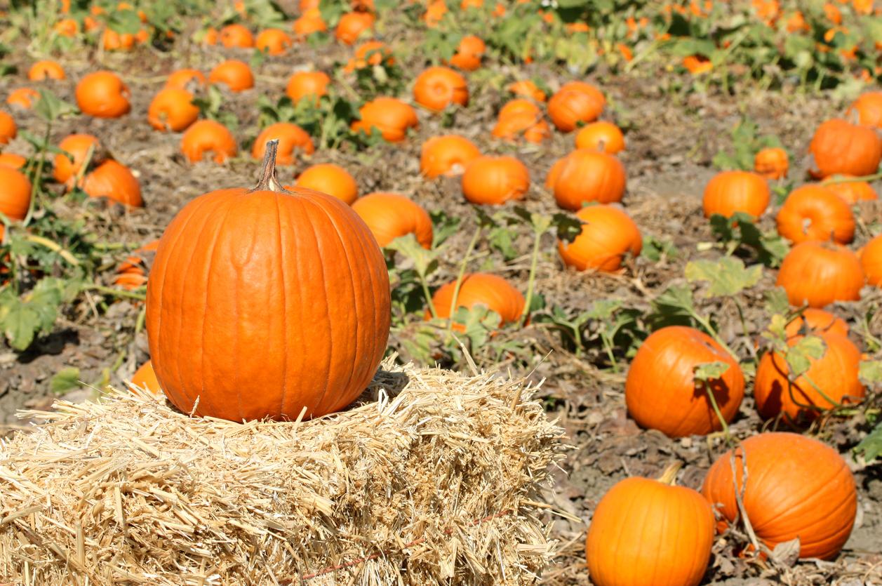 Potirons ou citrouilles halloweeniseront votre jardin comme il se doit!